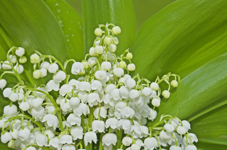Bunch of white spring flowery Convallaria Majalis. Natural background with lilies of the valley Stock Photo