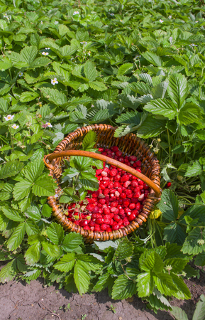 fragaria: Red fragaria or wild strawberries, wild trawberry. Basket with fresh wild strawberries