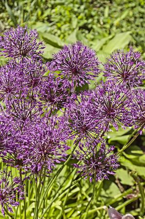 onion flowers: Ornamental onion. Allium Giganteum flowers in a flower bed