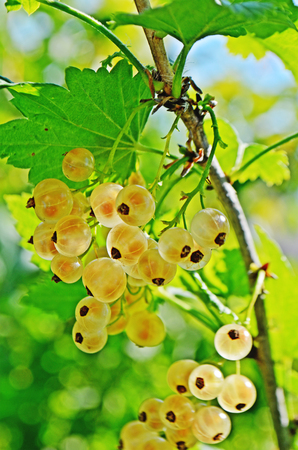 translucent red: closeup of yellow currants. Golden currants at a branch