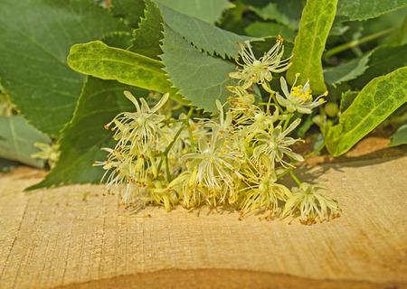 linden blossom: Yellow flowers fragrant linden macro.  Linden  flower  blossom