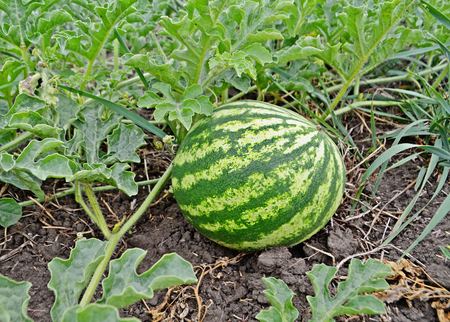melon field: Watermelons on the green melon field in the summer. Stock Photo