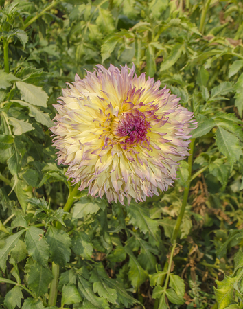 tuberous: Yellow, pink and orange dahlia flower in garden. Perennial plants with tuberous roots.