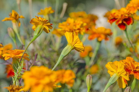 patula: Tagetes erecta or  Mexican marigold. Red and yellow marigold flowers growing in garden. French Marigolds golden flower Stock Photo