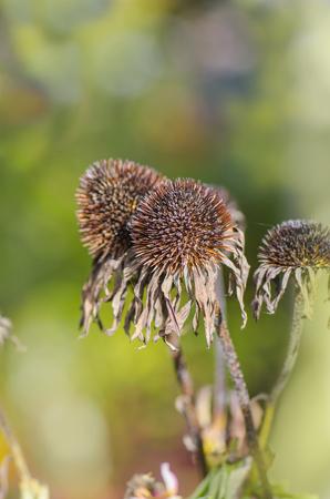 echinacea: Decaying echinacea flower head  macro. Pharmacy homeopathy plant