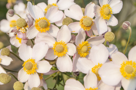 Japanese Anemone  or  Anemone hupehensis on  natural green background.