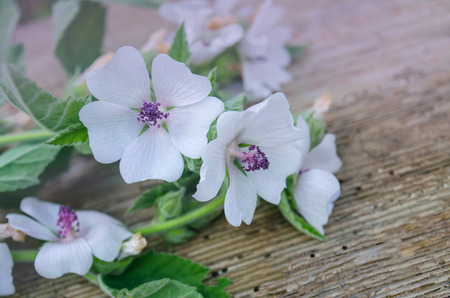 macrophotography: Marsh mallow Althaea officinalis. Macrophotography of a wild flower.