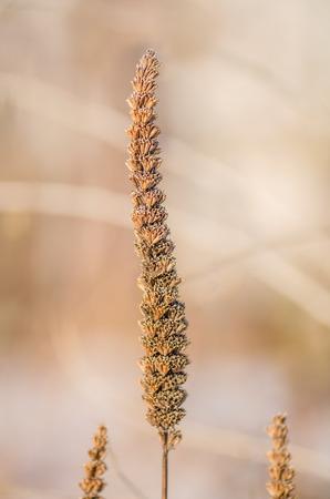 hyssop: Giant Anise hyssop Agastache foeniculum seeds boll Stock Photo