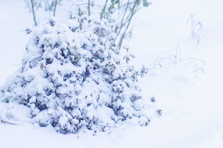 perennials: Garden with perennials covered with snow in winter. Clem tis.