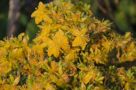 St  Johns wort.  Bunch of Hypericum flowers