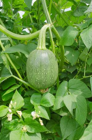 Asian  fresh pumpkin. Fig leaf gourd. Cucurbita pumpkin squash foliage Stock Photo