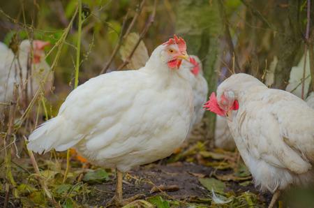 Portrait of a white chicken outdoor. White hen on the green grass. White chicken on the grass