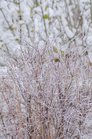 perennials: Garden with perennials  flowers covered with snow in winter
