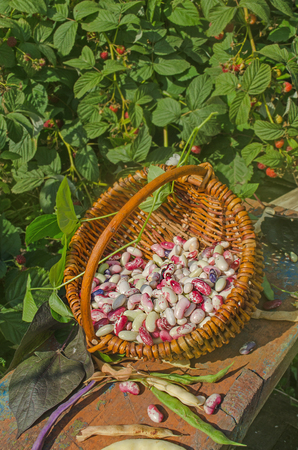 Butter beans or lima beans in a basket. Agriculture and harvest concept Stock Photo