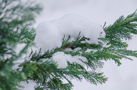 conifer: Conifer covered with snow in winter outdoor Stock Photo