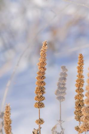 hyssop: Giant Anise hyssop Agastache foeniculum  seeds boll
