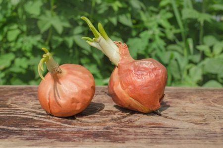 bulb fields: Onion bulb on wooden background. Onions at the end of storage life, beginning to sprout.