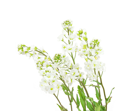 Arabis small soft terry white wildflowers isolated on white backdrop Stock Photo