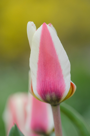 Multicolored tulips growing on a field  in the garden Stock Photo
