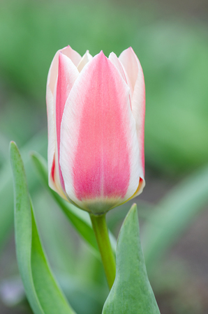 Tulip  pink and white with  yellow base