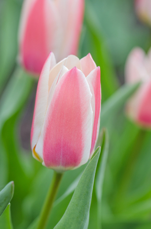 Carmine red tulip with edged white. Green foliage is  mottled