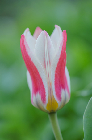 Multicolored tulips growing on a field  in the garden. Colorful spring flowers tulips