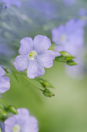 Flowers of flax austriacum. Linum usitatissimum flower. A flower bed with blue decorative linen Stock Photo