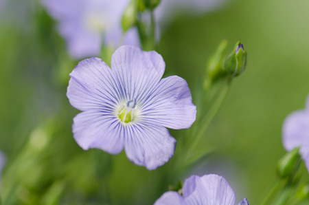 lint: Flowers of flax austriacum. Linum usitatissimum flower. A flower bed with blue decorative linen Stock Photo