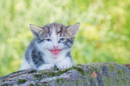 Meowing kitten  sitting in flowers. Cute little meowing kitten in the garden Stock Photo