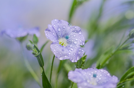 linseed: Blooming blue flax in a farm field. Linum perenne  or  perennial flax Stock Photo