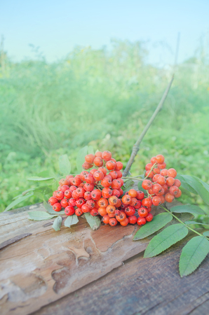 Red rowan  branch on wooden background. Colorful autumn background Stock Photo