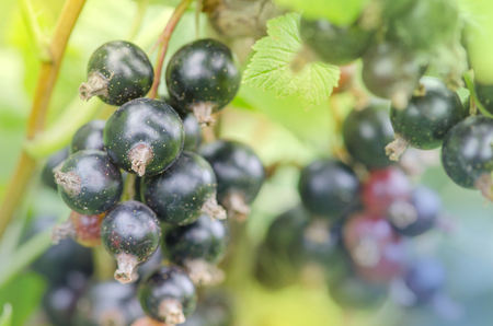 Blackcurrants on the bush branch. Black currant  organic agriculture, local farming. Imagens