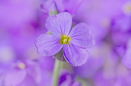 Aubretia flowers or Aubrieta Deltoidea. Aubrieta cultorum in the garden. Ground cover Aubrieta