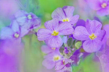 Close up of purple blossoms of Aubrieta flowers. Purple rock cress Aubrieta deltoidea