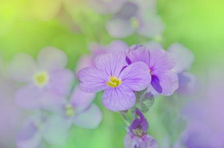 Purple rock cress Aubrieta deltoidea . Close up of purple blossoms of Aubrieta flowers.