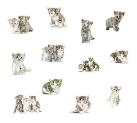 gray cat: Collection of funny kitten isolated on white background. Collage of cats  isolated.