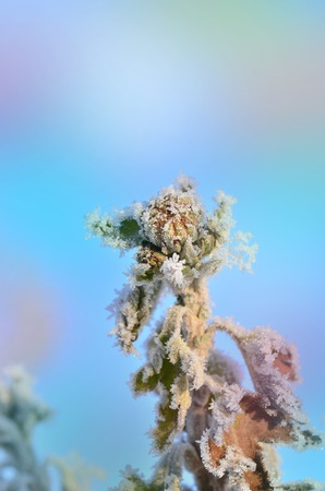Winter snow scene with flower. Frozenned  frosty plant. Plants covered with icicles Stock Photo