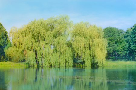 Willow tree by the water. Babylon willow or Salix Babylonica. Spring weeping willow tree