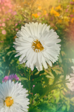 Snow flurry flower in bloom on autumn colorful background. Flowering asters in autumnal garden. Aster at golden autumn background with free space