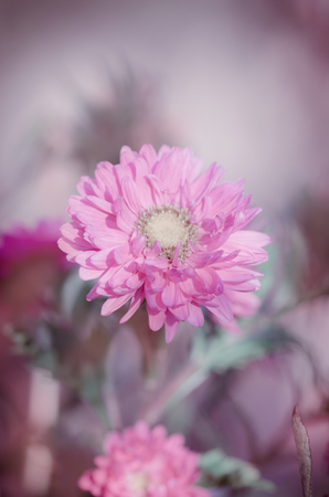 Pink aster growing in the flowerbed. Background with pink asters. Aster in the summer garden. Vintage tone nature background