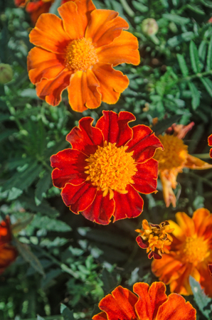 Marigold or zendu flowers with green leaf. Red marigolds in garden