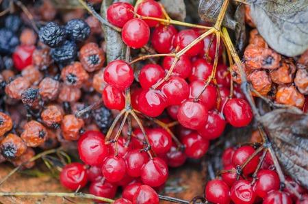 Red berries of viburnum and  black chokeberry. Stock Photo