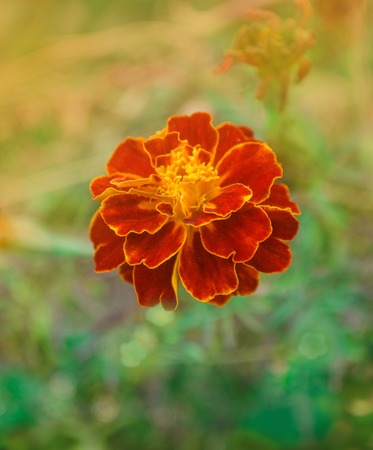 Gilt-edged deep red marigolds. French red marigold. Double red flowerheads with yellow centres Stock Photo