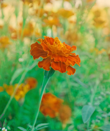 French marigold  maroon and orange bicolor flowers. Gilt-edged deep red marigolds.