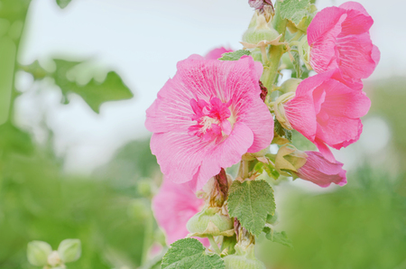 Pink Malva Alcea rosea in garden. Rose blooming hollyhock