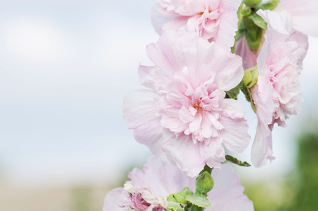 Pink terry hollyhock blossoms. Terry mallow in garden. Terry pink mallow growing. Copy space for your text Stock Photo