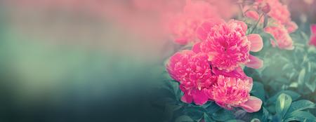 Beautiful flowers peonies. Closeup of beautiful pink peonie flower banner. Standard-Bild