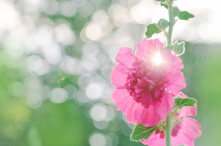 Terry mallow in garden. Terry pink mallow growing. Terry mallow garden plant. Copy space for your text
