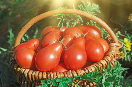 Closeup of basket with fresh red tomatoes. Freshly harvested tomatoes in basket. Red pear tomatoes in wicker basket Stock Photo