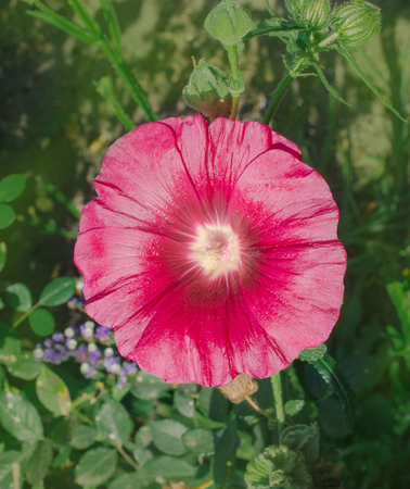 Alcea rosea or Hollyhock flower.Red  flower of a Common Hollyhock  Stock Photo